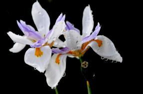 роса, лепестки, цветы, капли, ирис