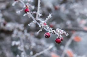 ветка, макро, холод, зима, изморозь, лёд, снег, красный