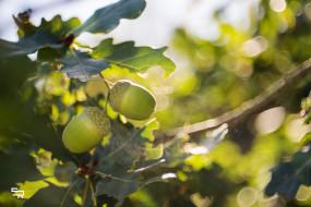 листья, свет, ветка, зелёный, плоды, жёлуди, урожай, блики, солнце