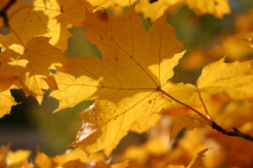 жёлтый, осень, макро, листва