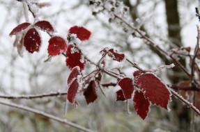 лёд, изморозь, снег, ветка, красный, зима, холод