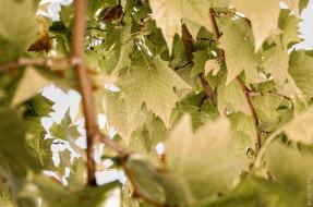 лето, зелень, макро, листва, ветки
