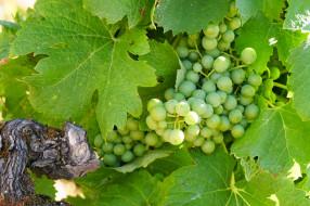 кисти, куст, виноград, природа
