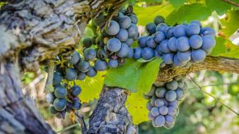 природа, Ягоды,  виноград, урожай, макро, гроздь