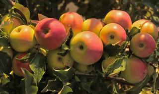 дерево, яблоки, плоды, ветки