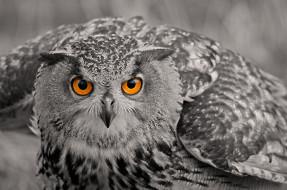 сова, птица, взгляд