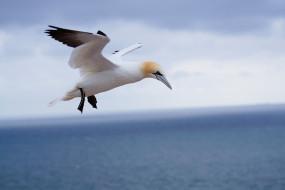 олуша, птица, полет, природа