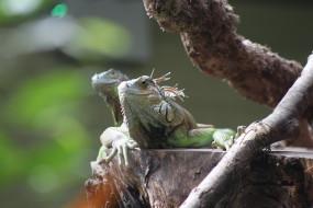 Ящерица, Игуана, дерево, природа