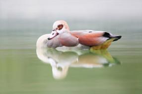 озеро, утка, птица, природа