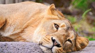 животные, львы, отдых