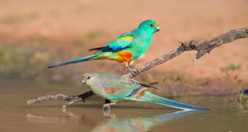 животные, попугаи, ветка, вода, природа, птицы