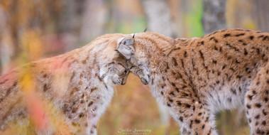 животные, рыси, ласка, парочка, кошки, окрас, мех, любовь