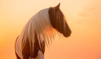 животные, лошади, профиль, закат, свет, солнце, позирует, морда, грива, красавец, пегий, окрас, конь