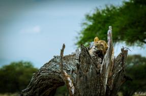 животные, львы, морда, львица, лежит