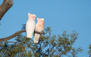 животные, попугаи, природа, дерево, птицы, ветки