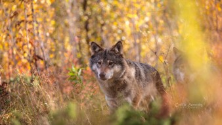 волк, хищник, морда, осень, портрет