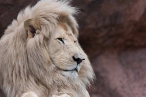животные, львы, зоопарк, морда, грива, профиль, красавец, белый