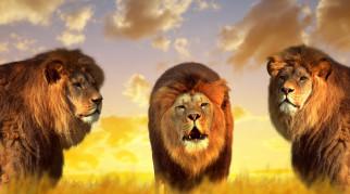 животные, львы, природа, короли