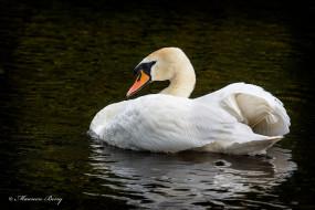 птица, белая, оперение, грация, водоём