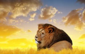 животные, львы, кошка, лев, король, природа