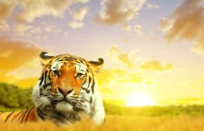 природа, небо, тигр, облака