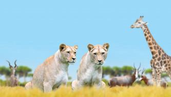 природа, львицы, жираф, животные