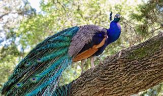 дерево, павлин, птица, природа