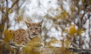 грация, камень, лежит, хищник, кошка