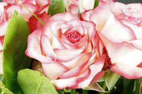 розовая, цветы, бутон, роза