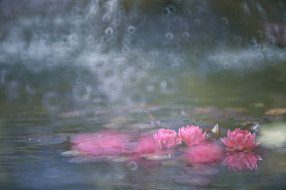цветы, лилии водяные,  нимфеи,  кувшинки, розовые, кувшинки, вода, цветение