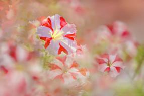 бело розовые, цветы, цветение, петунии, лето