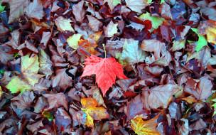 кленовые, листья, осень