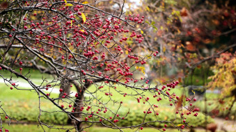 райские, яблочки
