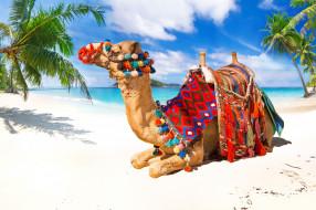 пляж, верблюд, море