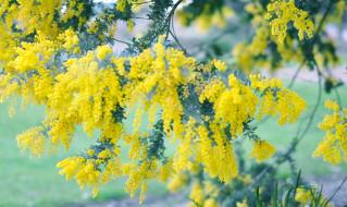 весна, мимоза, дерево, цветение