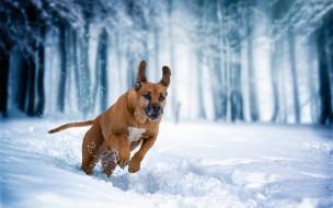 Родезийский риджбек, прогулка, зима, собака, снег, бег