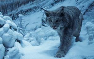 животные, дикие кошки, взгляд