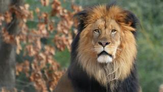 животные, львы, морда