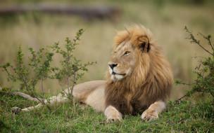 животные, львы, профиль