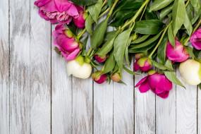 бутоны, цветы, пионы