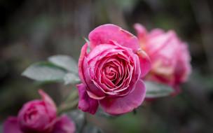 цветы, розы, бутон