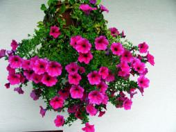 цветы, петунии,  калибрахоа, сурфиния