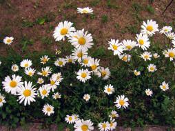 цветы, ромашки, белый