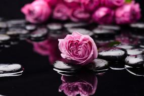цветы, розы, камни, вода, бутоны