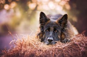 животные, собаки, овчарка, морда, сено, взгляд, собака