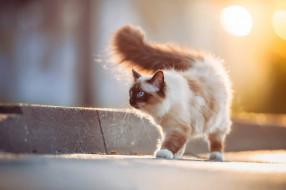 бордюр, пушистая, кошка