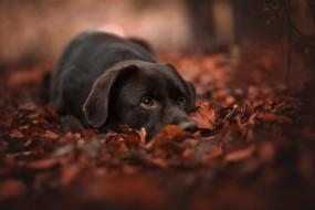 животные, собаки, листья, осень, морда, листва, боке, собака