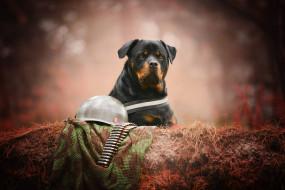 животные, собаки, вояка, боке, морда, каска, патроны, портрет, взгляд, собака