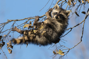 животные, еноты, детёныш, енот, ветки, на, дереве