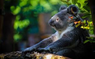 животные, коалы, медвежонок, коала, сумчатый, медведь